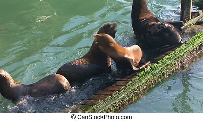Unbalanced Sea Lions - Sea lions jostling for position on an...