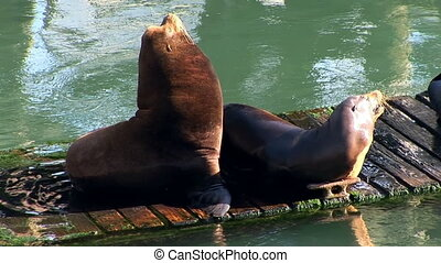 Sea Lions - Two Sea Lions getting some sun on a floating...