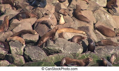 Sea Lions - Group of sea lions on the rocky coastline of...