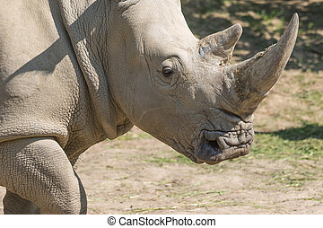 The head of the rhinoceros - Closeup view of the head of the...