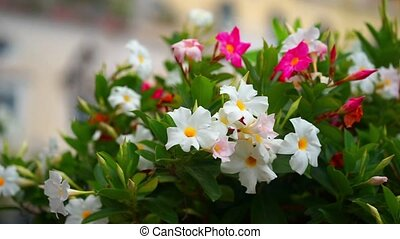 petunia flowers. The rose petunias on the forefront are in...