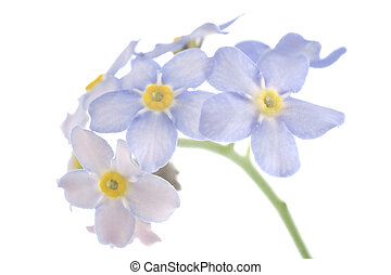 forget-me-not - Studio Shot of Cyan Colored Forget-me-not...