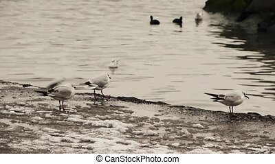 Gulls on water edge in winter - Gulls flying over an sitting...