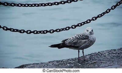 Gull sitting at water edge with chain in background -...