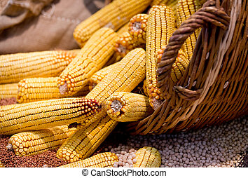 Corn cobs in basket - Close up of harvested corn cobs in the...
