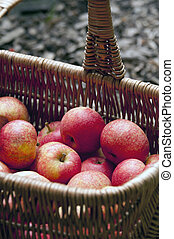 fresh apples in crates from harvest