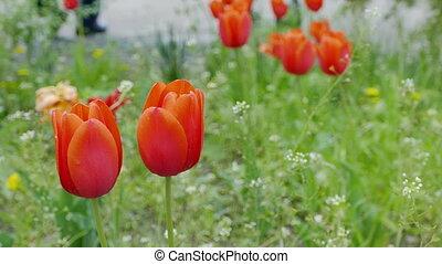 tulip flowers red field landscape video 4k