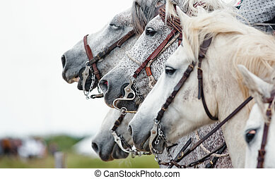 camargue horses closeup at a horse festival in south of...