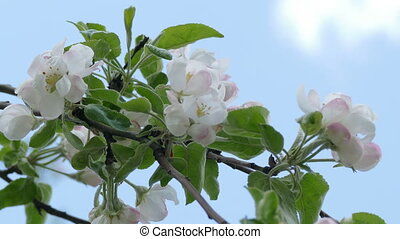 blossoms branch spring flower apple - tree branch spring...