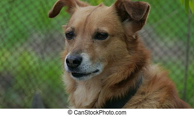 muzzle dog on a chain - red brown dog muzzle is the largest...