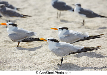 Royal Caspian terns sea birds in Miami Florida South beach...