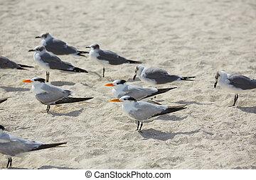 Royal Caspian terns sea birds in Miami Florida South beach...