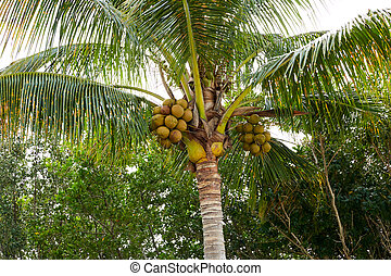 Florida Sanibel Captiva island coconut palm tree - Florida...