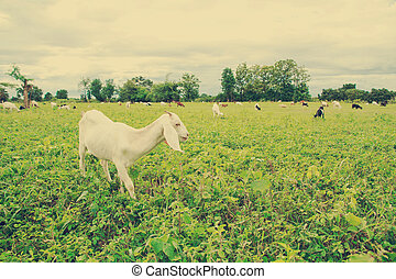 Goat farm - Grazing goats and green plants.vintage style...