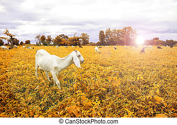 Goat farm - Grazing goats and green plantsvintage style with...