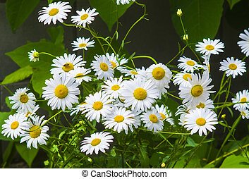 chamomile. Chamomile flower. Green grass and chamomiles in the nature. Fresh chamomile