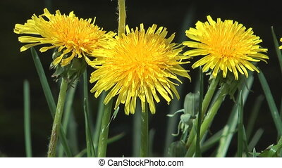 Dandelion. - Three yellow flowers of a dandelion a close up.
