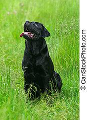 Black Labrador Retriever dog - Labrador Retriever dog on the...