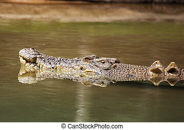 Saltwater Crocodile Crocodylus porosus in Queensland,...