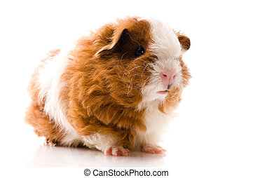 guinea pig isolated on the white