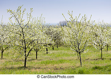 blooming fruit orchard