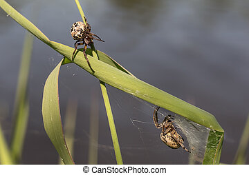 Spiders - Two spider on a green blade of grass