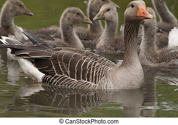 goose family in water