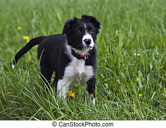 Collie - Border collie puppy close up shoot