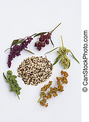 Quinoa plant and seeds - quinoa seed mix and plant isolated...