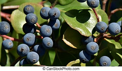 blue berries in sunlight - Close up of blue berries on a...