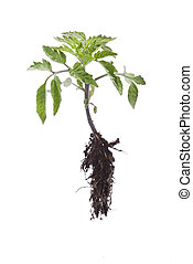 Tomato seedling isolated on a white background