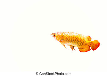 Red Arowana or Dragon fish isolated in white backgroud
