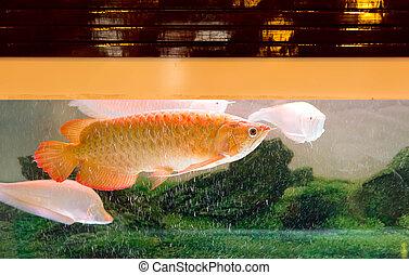 Red Arowana or Dragon fish in fish tank