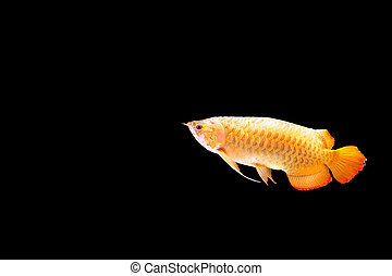 Red Arowana or Dragon fish isolated in black backgroud