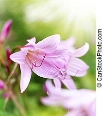 Pink lilies or Amaryllis belladonna with selective focus and...