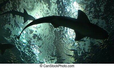Shark Habitat - Looking up at silhouettes of sharks swimming