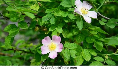 Pink flowers of wild rose in spring - A Pink flowers of wild...