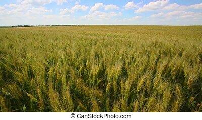 Grain field, green grain growing in a farm field, close-up...