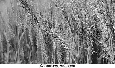 Grain field, green grain growing in a farm field, close-up...