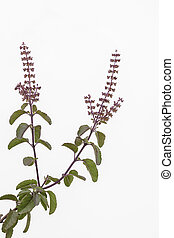 Holy basil Tulasi - Holy basil tulasi sprig with leaves and...