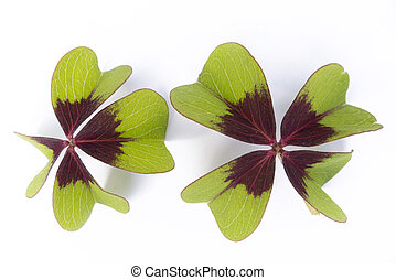 lucky clover - two lucky clovers isolated on whiet...
