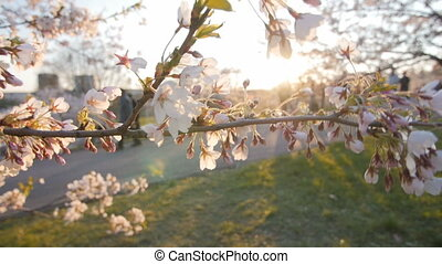 Branch of a blossoming cherry tree with beautiful pink flowers. Shallow depth of field. Sunbeam