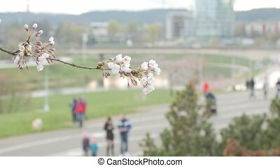 Sakura blossoms. Passers-by in the background. Selective...