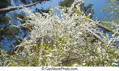 Beautiful blooming plum tree against blue sky . - Beautiful...
