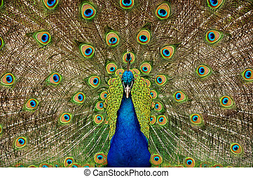 Proud peacock - Colorful male peacock displaying his tail...