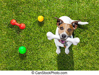 play dog looking up - happy jack russell terrier dog in park...