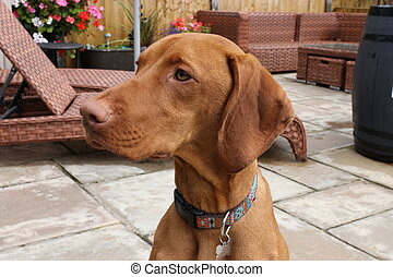 Hungarian vizsla dog - A portrait of a young hungarian...