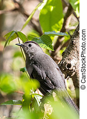 Grey Catbird perched on tree branch