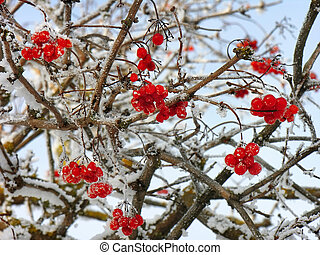 Viburnum clusters on branches in winter - Viburnum icy...