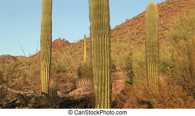Human Cactus - Arms reaching out from the trunk on a Saguaro...